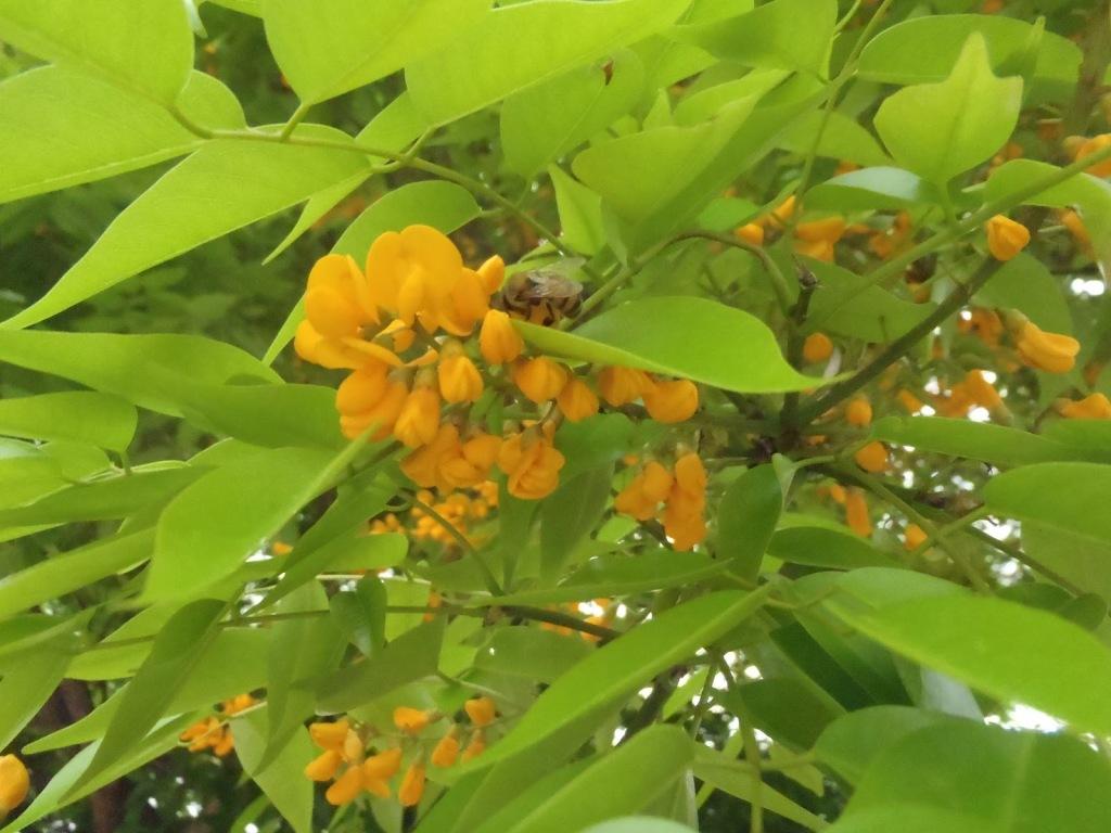 Flores de cobre. Foto tomada de httpapisred.blogspot.com201207flora-melifera.html