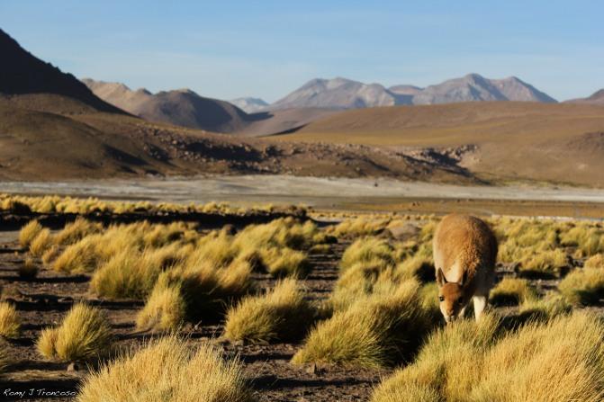 Una vicuña en el altiplano. Sobre los 4300 metros de altura. Foto por Romy J. Troncoso.