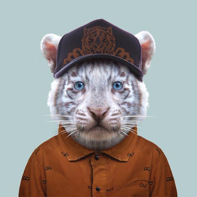 White Bengal Tiger Cub - Panthera Tigris Tigris copia